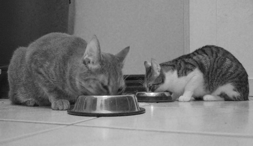 عکس غذای گربه