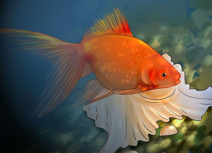 ماهی قرمز عالی