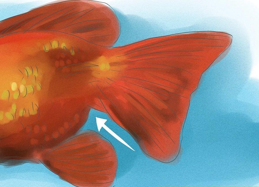 تشخیص جنسیت ماهی