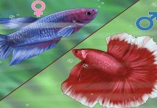 تشخیص جنسیت ماهی فایتر