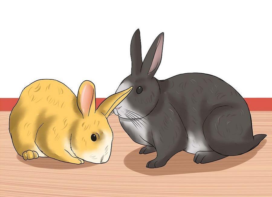 سن خرگوش