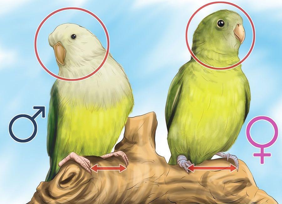 تعیین جنسیت طوطی کوتوله