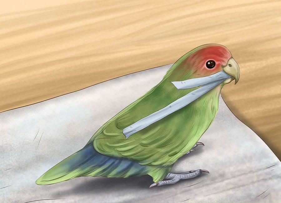 طوطی برزیلی ماده