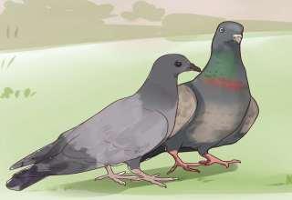 آموزش دادن کبوتر
