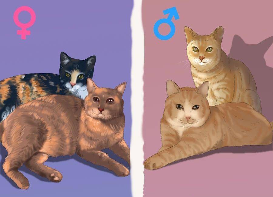 جنسیت گربه