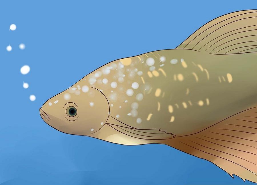 ماهی فایتر سالم
