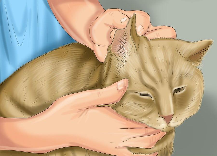 گربه پشمالو