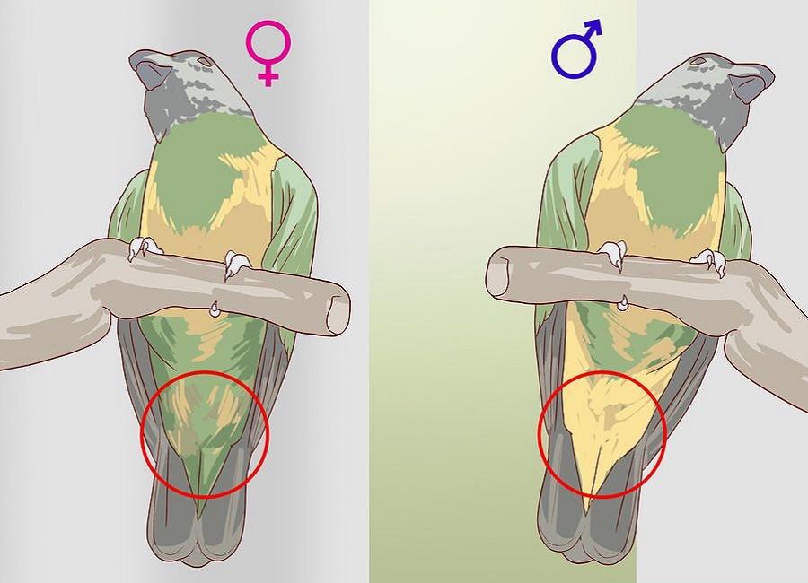 جنسیت نر و ماده سنگالی