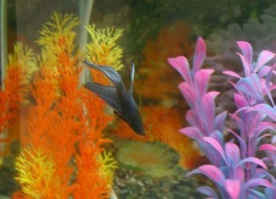 عکس ماهی فایتر
