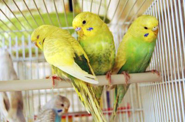 عکس مرغ عشق حامله