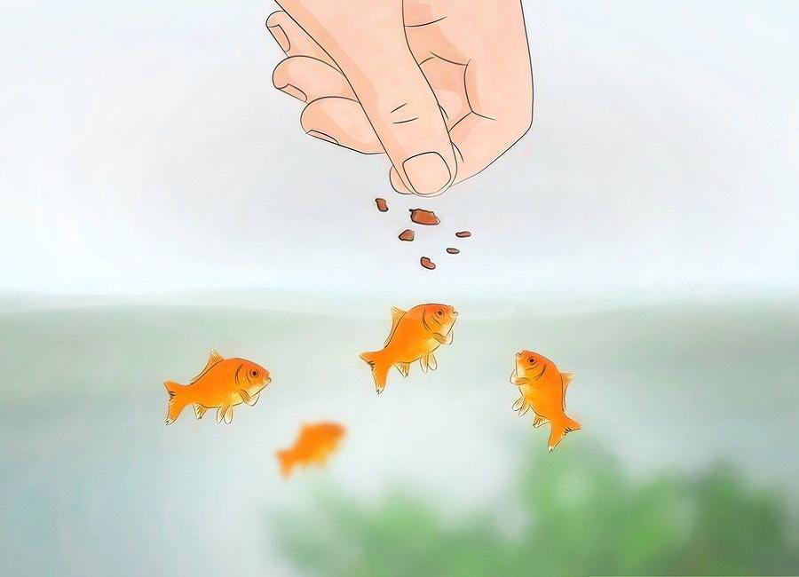 غذا دادن به ماهی قرمز