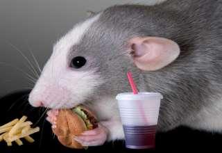 از بین بردن موش